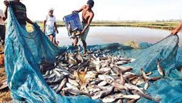 রাজশাহী কৃষিজমিতে বাড়ছে মাছ চাষ, বিপাকে শ্রমিকরা