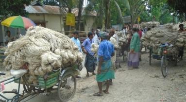 বগুড়ার সারিয়াকান্দিতে ১২০ কোটি টাকার পাট উৎপাদন