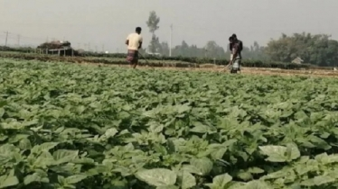 রংপুরে মৌসুমী ব্যবসায়ীদের জন্য বিপাকে চরাঞ্চলের কৃষক