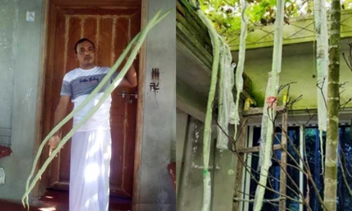 মনপুরায় ১০ ফুট লম্বা চিচিঙ্গা চাষ