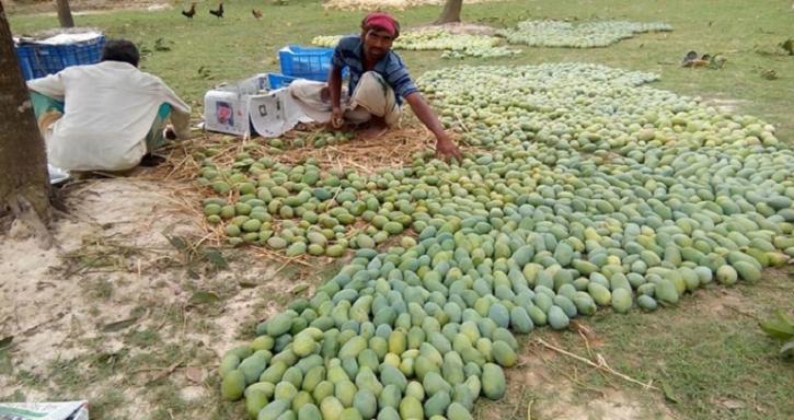 পোরশায় আমের বাম্পার ফলন, বাণিজ্য হবে ৮শ কোটি টাকা